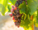 grapes at vineyards plant  in sunny august day. Mediterranean France