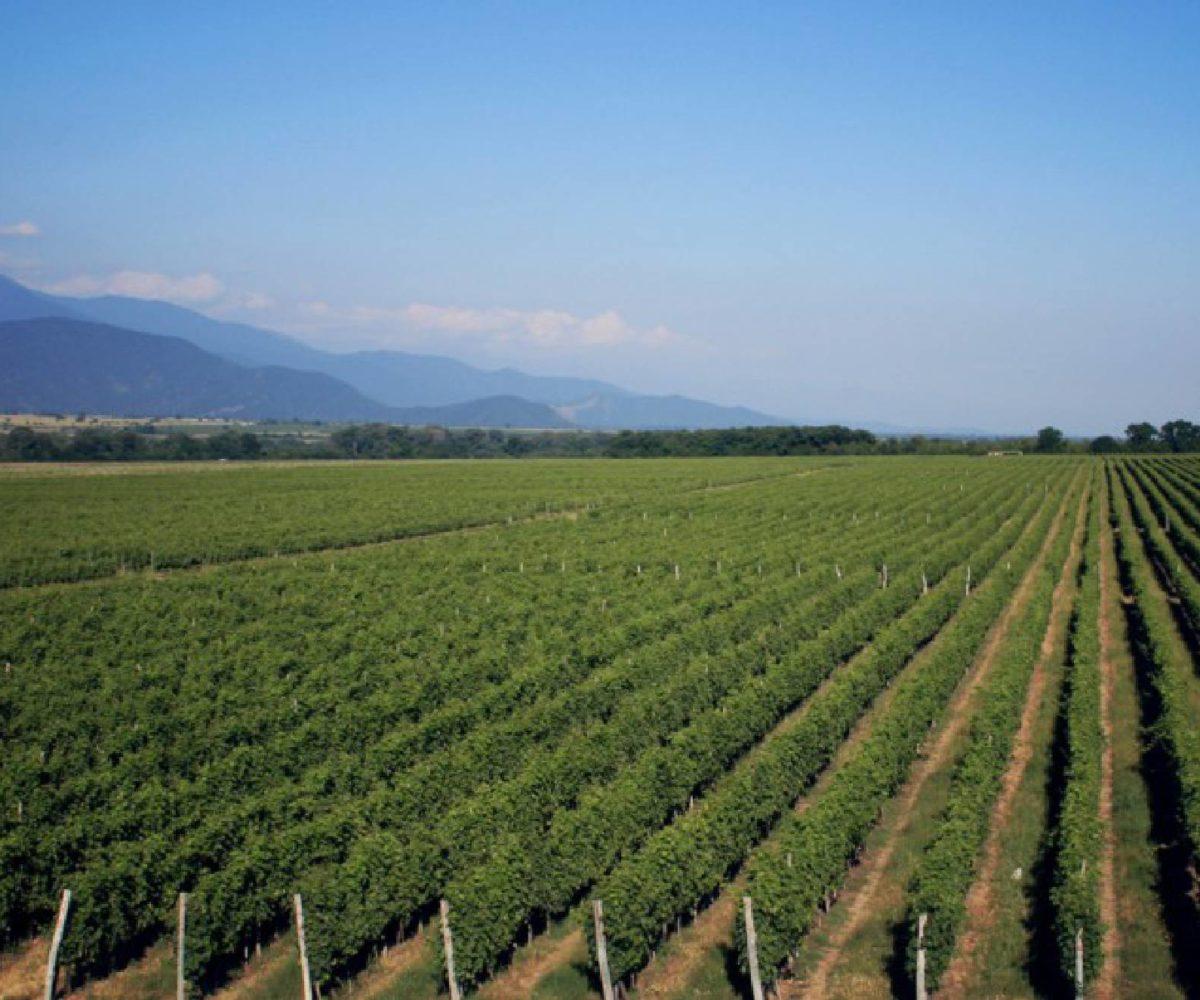 Gruzínské vinice